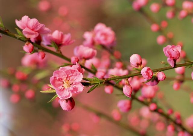 Kinh nghiệm để chọn và chăm sóc hoa đào ngày Tết - Ảnh 4.