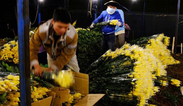 Đà Lạt: Trắng đêm thu hoạch hoa Tết chở về xuôi, công cắt hoa tăng gấp 3 lần - Ảnh 2.