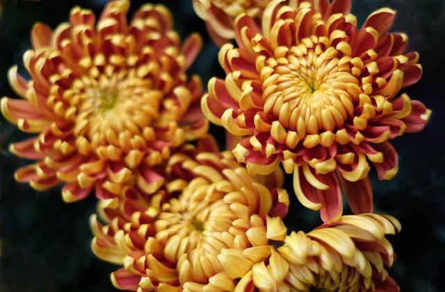 Đà Lạt: Trắng đêm thu hoạch hoa Tết chở về xuôi, công cắt hoa tăng gấp 3 lần - Ảnh 4.