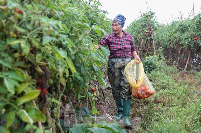 200 tấn rau củ quả ế, người dân Hà Nội đổ ngoài đồng - Ảnh 3.