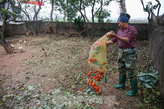 200 tấn rau củ quả ế, người dân Hà Nội đổ ngoài đồng - Ảnh 4.