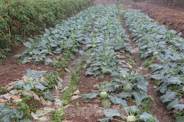 200 tấn rau củ quả ế, người dân Hà Nội đổ ngoài đồng - Ảnh 10.