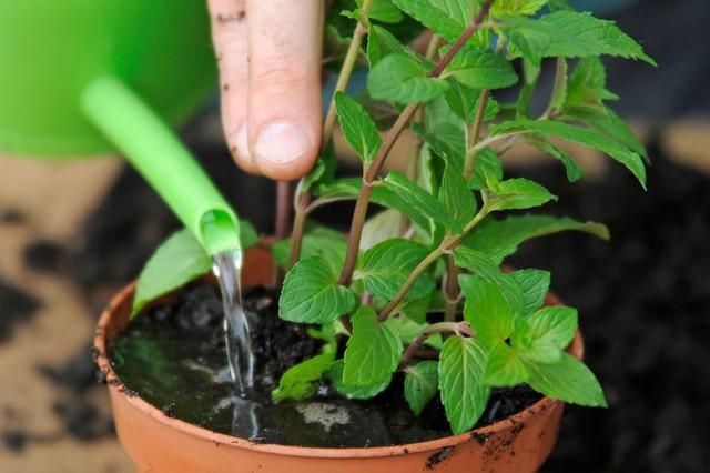 7 loại cây gia vị bạn nên trồng để vừa ăn ngon vừa đuổi gián, muỗi cực hiệu quả - Ảnh 2.