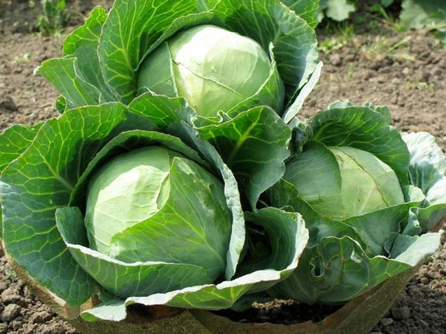 Chuyên gia dinh dưỡng: Bắp cải có thể ngăn ngừa nhiều loại ung thư, nhưng 3 kiểu người này không nên ăn - Ảnh 2.