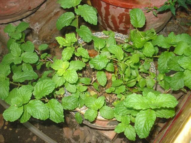 7 loại cây gia vị bạn nên trồng để vừa ăn ngon vừa đuổi gián, muỗi cực hiệu quả - Ảnh 4.
