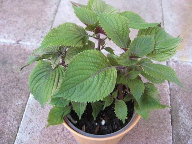 7 loại cây gia vị bạn nên trồng để vừa ăn ngon vừa đuổi gián, muỗi cực hiệu quả - Ảnh 5.
