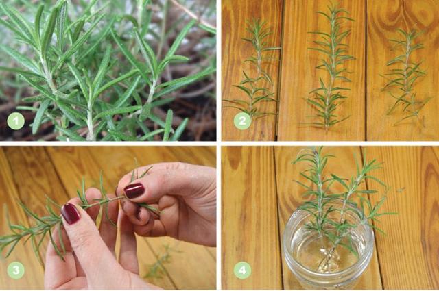 7 loại cây gia vị bạn nên trồng để vừa ăn ngon vừa đuổi gián, muỗi cực hiệu quả - Ảnh 7.