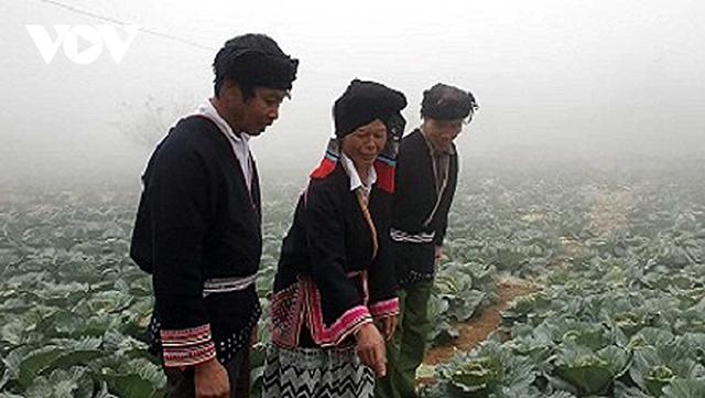 Trồng rau sạch có thu nhập hàng chục triệu đồng ở Vân Hồ, Sơn La - Ảnh 1.