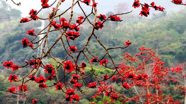 Hoa gạo nở đỏ rực từng khoảng trời: Vừa đẹp vừa ấm áp lại có thể làm thuốc chữa bệnh siêu hay - Ảnh 1.