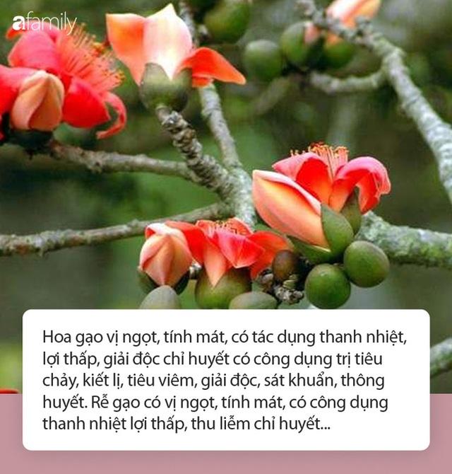 Hoa gạo nở đỏ rực từng khoảng trời: Vừa đẹp vừa ấm áp lại có thể làm thuốc chữa bệnh siêu hay - Ảnh 2.