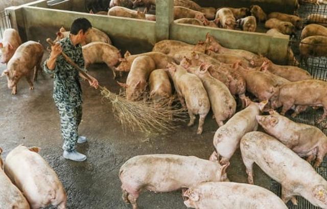 Sản lượng lợn hơi Trung Quốc đang trên đà phục hồi - Ảnh 1.