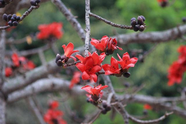 Hoa gạo nở đỏ rực từng khoảng trời: Vừa đẹp vừa ấm áp lại có thể làm thuốc chữa bệnh siêu hay - Ảnh 4.