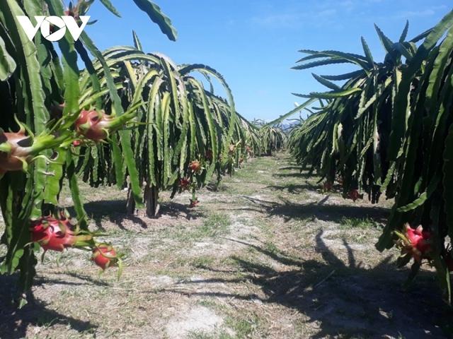 Giá thanh long lên xuống thất thường khiến người trồng lao đao - Ảnh 1.