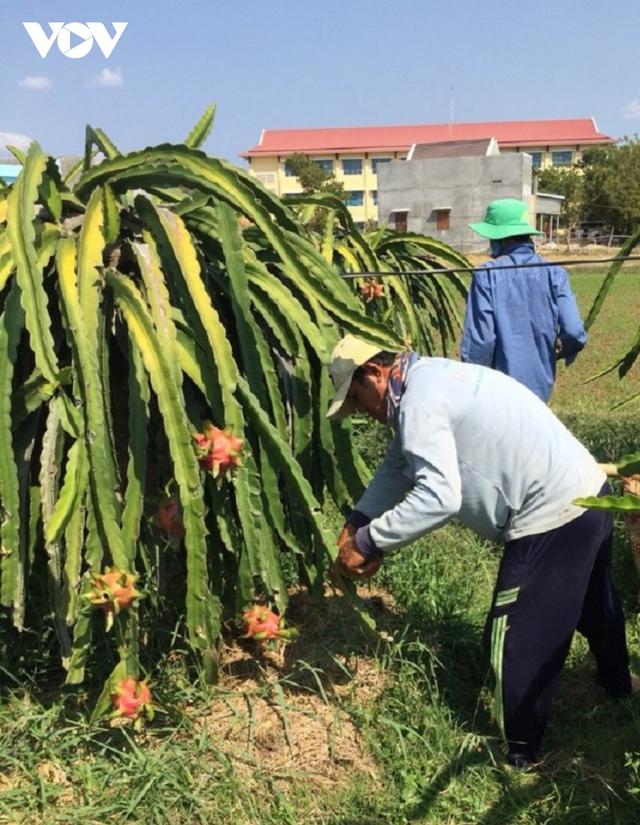Giá thanh long lên xuống thất thường khiến người trồng lao đao - Ảnh 2.
