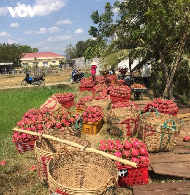 Giá thanh long lên xuống thất thường khiến người trồng lao đao - Ảnh 4.