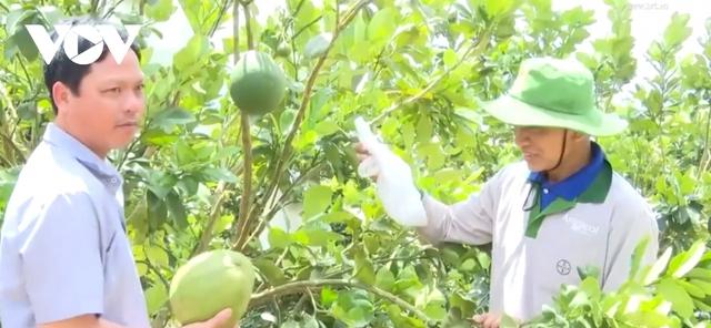 Thủ phủ hồ tiêu Chư Pưh chuyển đổi sang mô hình trồng cây ăn trái - Ảnh 1.