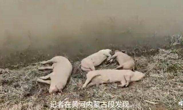 Trung Quốc: Xác heo dạt hàng loạt vào bờ sông Hoàng Hà  - Ảnh 1.
