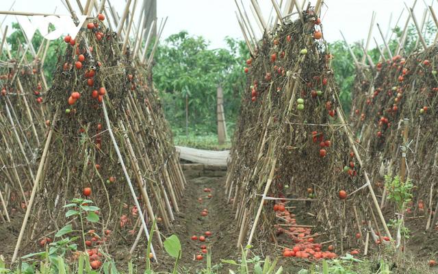 Giá quá rẻ, nông dân Hà Nội vứt bỏ củ cải, cà chua...đầy đồng vì ế ẩm - Ảnh 1.