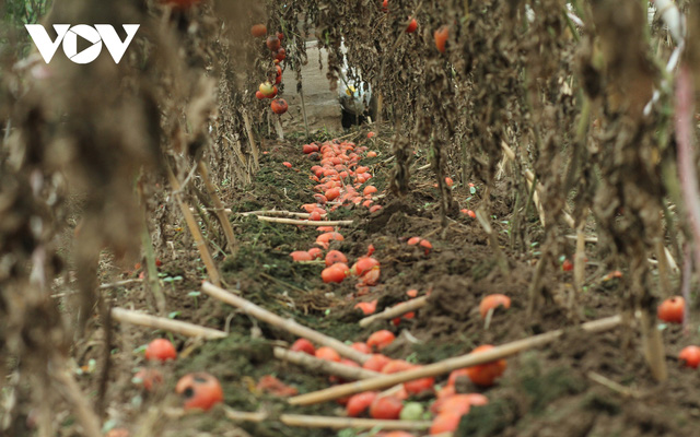 Giá quá rẻ, nông dân Hà Nội vứt bỏ củ cải, cà chua...đầy đồng vì ế ẩm - Ảnh 2.