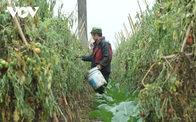 Giá quá rẻ, nông dân Hà Nội vứt bỏ củ cải, cà chua...đầy đồng vì ế ẩm - Ảnh 12.