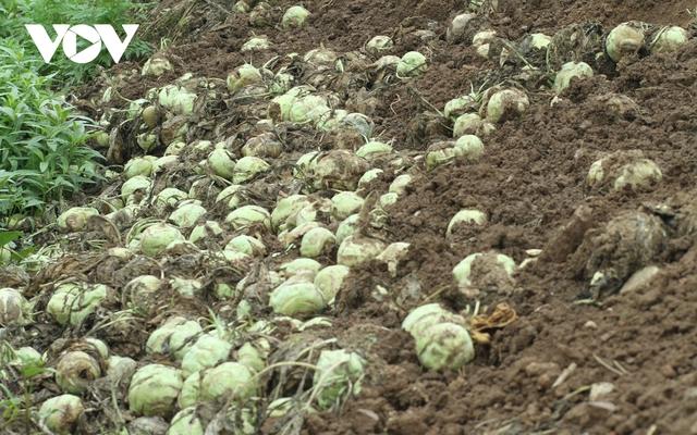 Giá quá rẻ, nông dân Hà Nội vứt bỏ củ cải, cà chua...đầy đồng vì ế ẩm - Ảnh 3.