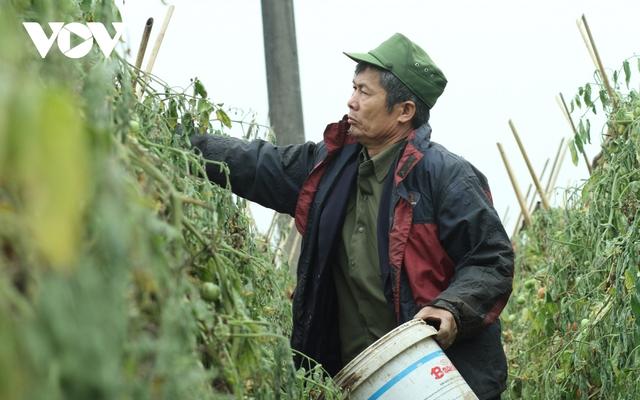 Giá quá rẻ, nông dân Hà Nội vứt bỏ củ cải, cà chua...đầy đồng vì ế ẩm - Ảnh 4.