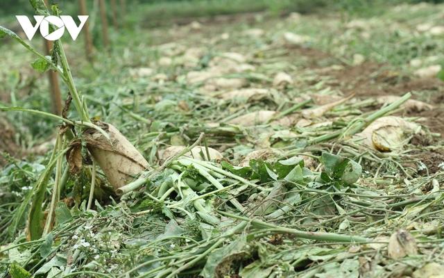 Giá quá rẻ, nông dân Hà Nội vứt bỏ củ cải, cà chua...đầy đồng vì ế ẩm - Ảnh 5.