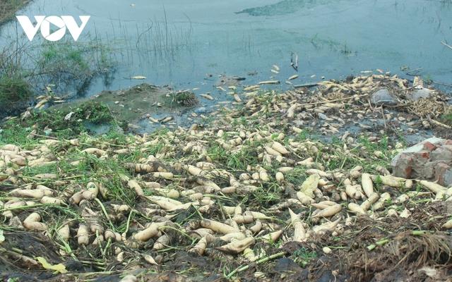 Giá quá rẻ, nông dân Hà Nội vứt bỏ củ cải, cà chua...đầy đồng vì ế ẩm - Ảnh 6.