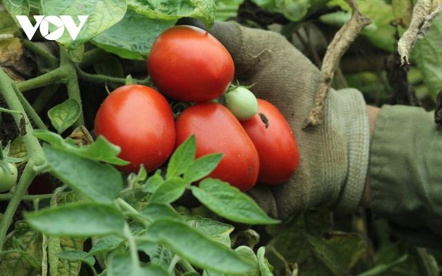 Giá quá rẻ, nông dân Hà Nội vứt bỏ củ cải, cà chua...đầy đồng vì ế ẩm - Ảnh 7.