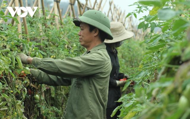 Giá quá rẻ, nông dân Hà Nội vứt bỏ củ cải, cà chua...đầy đồng vì ế ẩm - Ảnh 8.