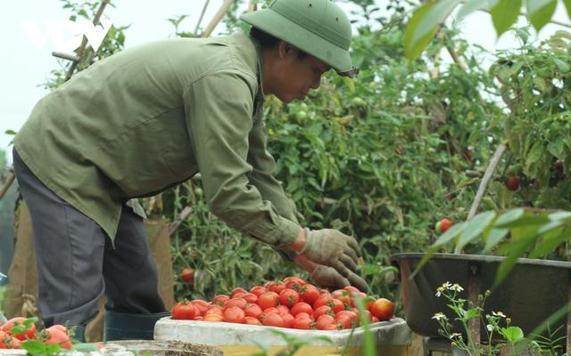 Giá quá rẻ, nông dân Hà Nội vứt bỏ củ cải, cà chua...đầy đồng vì ế ẩm - Ảnh 9.