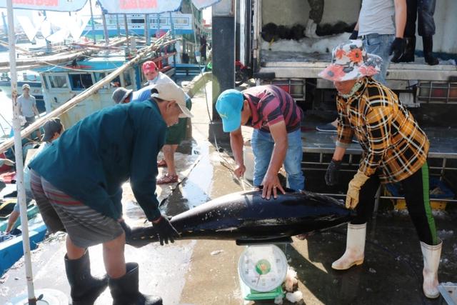 Sản lượng cá ngừ đại dương sụt giảm - Ảnh 1.