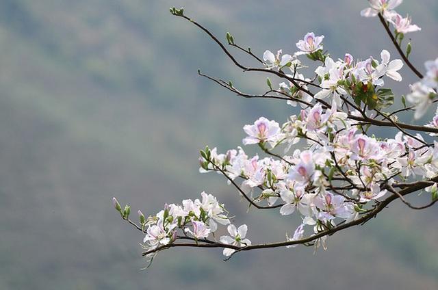 Hoa ban nở bạt ngàn ở Thủ đô: Hóa ra loại hoa này còn có thể làm thuốc chữa bệnh cực hay! - Ảnh 2.