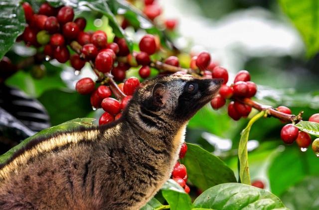Sự thật về cà phê chồn đắt như vàng: Ly cà phê bịp bợm đạp trên số phận đau thương của những chú cầy hương - Ảnh 4.