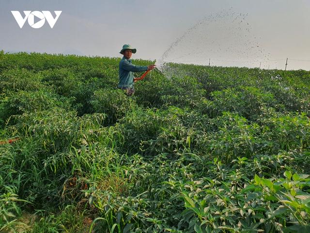 Ớt trĩu quả không ai mua, nông dân Quảng Nam lao đao - Ảnh 1.
