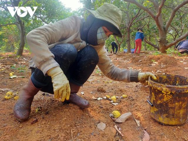 Mất mùa, mất giá, người trồng điều ở Gia Lai thiệt hại kép - Ảnh 1.