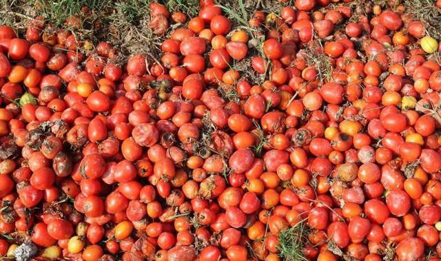 Rớt nước mắt nhìn cà chua rụng đỏ ruộng, không người mua - Ảnh 1.