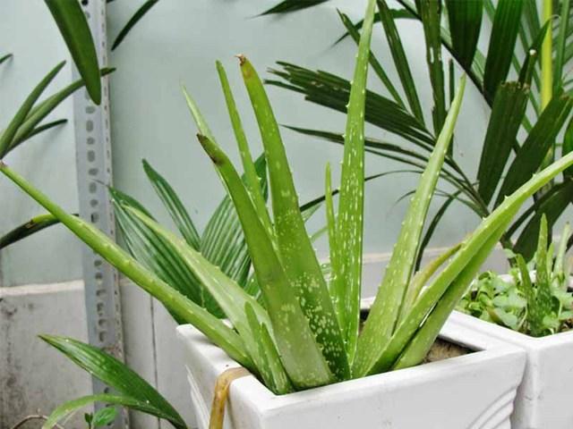 7 loại cây cảnh NÊN đặt trong phòng ngủ vừa tốt cho sức khỏe vừa hợp phong thủy - Ảnh 1.