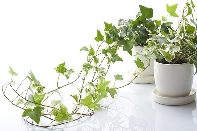 7 loại cây cảnh NÊN đặt trong phòng ngủ vừa tốt cho sức khỏe vừa hợp phong thủy - Ảnh 4.