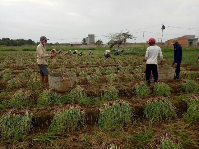 Hành tím mất giá kỷ lục, người trồng lao đao - Ảnh 2.