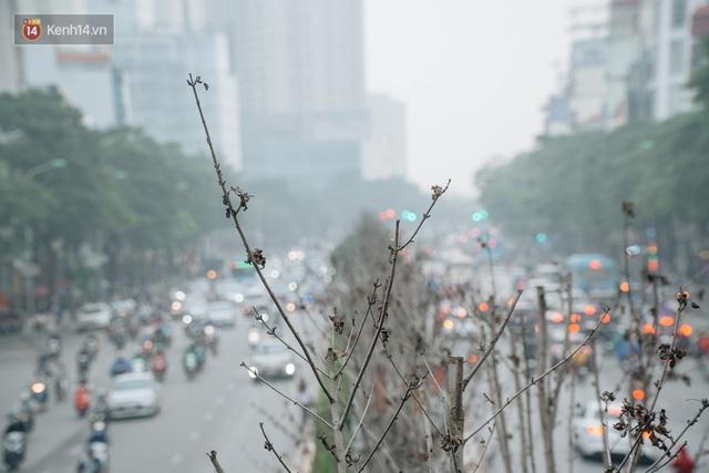 Hàng phong lá đỏ ở Hà Nội: Từ kỳ vọng Châu Âu giữa lòng Thủ đô đến những cành củi khô sắp bị thay thế - Ảnh 5.