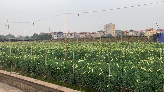 Hoa loa kèn vào mùa giá siêu rẻ, mãn nhãn khu vườn nghìn bông đua nở - Ảnh 1.