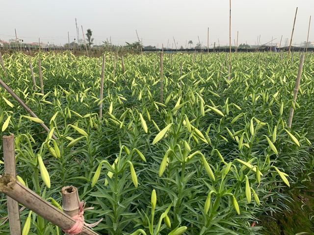 Hoa loa kèn vào mùa giá siêu rẻ, mãn nhãn khu vườn nghìn bông đua nở - Ảnh 2.