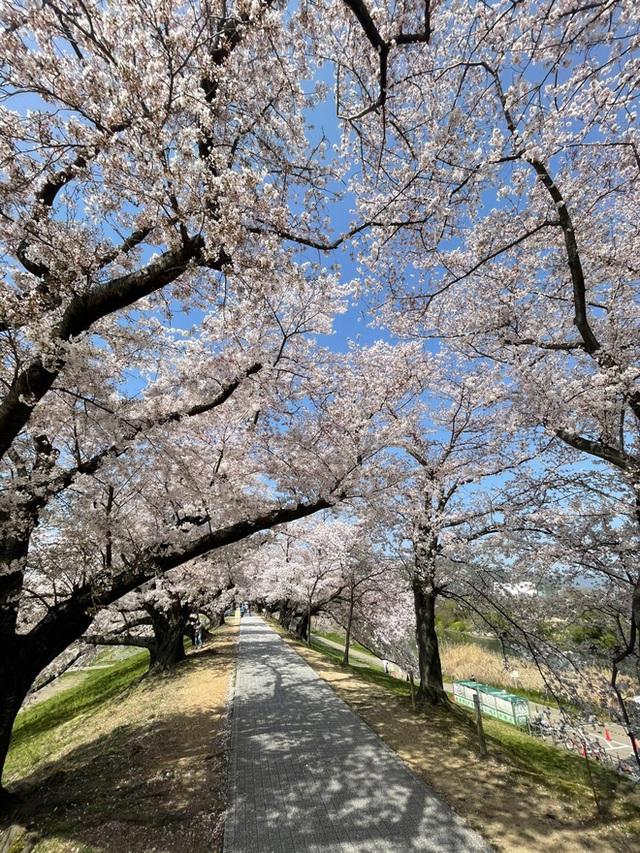 Có một mùa hoa anh đào Nhật Bản đẹp đến tan chảy qua ống kính của du học sinh người Việt: Một khi đã xem thì chẳng thể rời mắt được - Ảnh 1.