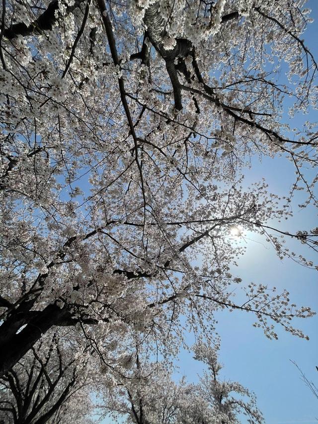 Có một mùa hoa anh đào Nhật Bản đẹp đến tan chảy qua ống kính của du học sinh người Việt: Một khi đã xem thì chẳng thể rời mắt được - Ảnh 2.