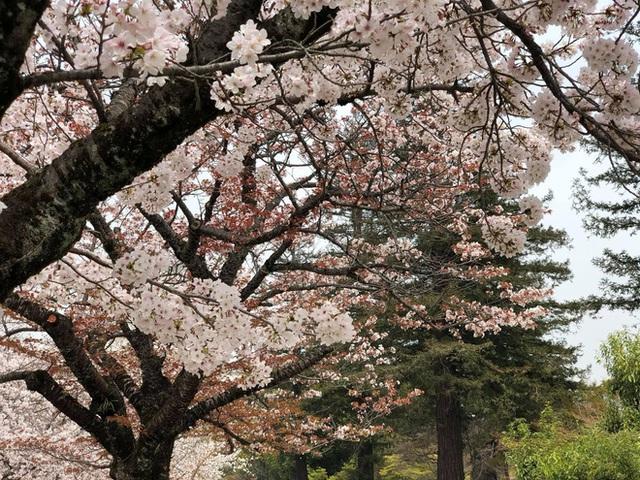 Có một mùa hoa anh đào Nhật Bản đẹp đến tan chảy qua ống kính của du học sinh người Việt: Một khi đã xem thì chẳng thể rời mắt được - Ảnh 3.