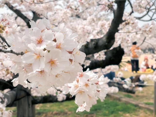 Có một mùa hoa anh đào Nhật Bản đẹp đến tan chảy qua ống kính của du học sinh người Việt: Một khi đã xem thì chẳng thể rời mắt được - Ảnh 4.