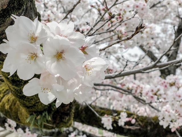 Có một mùa hoa anh đào Nhật Bản đẹp đến tan chảy qua ống kính của du học sinh người Việt: Một khi đã xem thì chẳng thể rời mắt được - Ảnh 6.