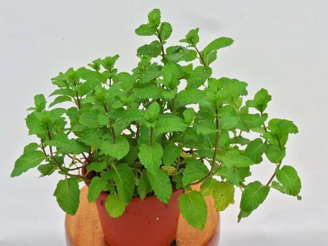 8 loại cây cảnh nên trồng trong nhà bếp vì có khả năng lọc không khí và khử mùi cực tốt - Ảnh 2.