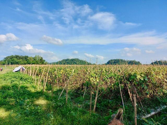 Hàng trăm tấn bí xanh nằm ruộng, nông dân đỏ mắt chờ thương lái - Ảnh 2.
